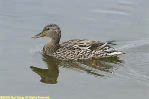 Most Common Duck Breeds