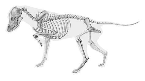 anatomy   dog  behance