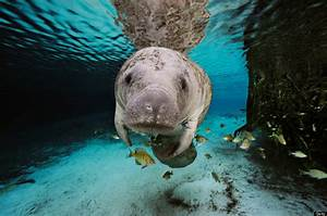 'But manatees AREN'T photogenic!' – The Speed Bump