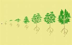 Stages Of The Cannabis Plant Growth Cycle In Pictures