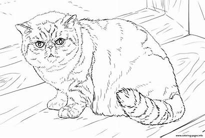 Coloring Cat Pages Shorthair Exotic British Printable