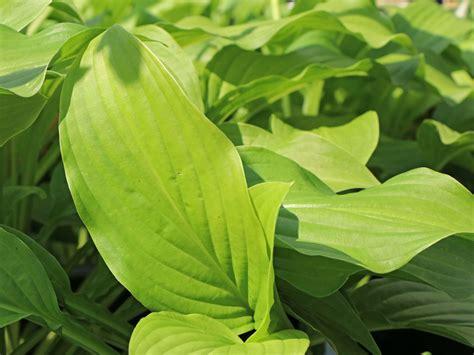 duftende herzblattlilie hosta plantaginea fuer deinen garten