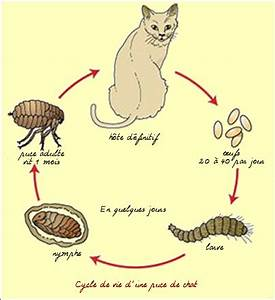 Comment Enlever Les Oeufs De Puces Sur Un Chat : chats les parasites externes ~ Dode.kayakingforconservation.com Idées de Décoration