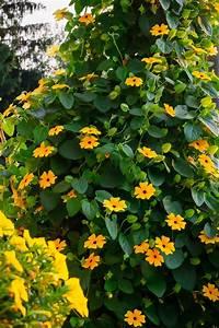 Schnell Wachsende Pflanzen : kletterpflanzen bilden einen attraktiven sichtschutz f r ~ Articles-book.com Haus und Dekorationen