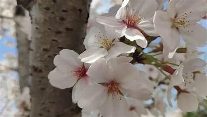 Sakura Wallpapers 4k Desktop Screen Mobile