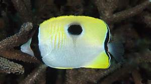Teardrop Butterflyfish Images - Reverse Search