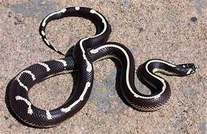Snake Species - Lampropeltis getula californiae ...
