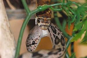 10 Unknown Facts Of King Cobra