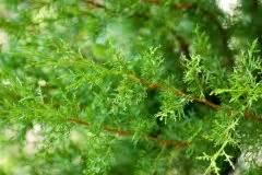 Zypresse Wird Braun : zypresse wie giftig ist der mediterrane baum ~ Orissabook.com Haus und Dekorationen