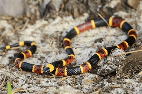 Venomous Snakes Of Texas - Texas A&M Today