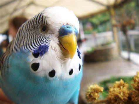 A Blue Parakeet Bird Marissa Elkind Flickr