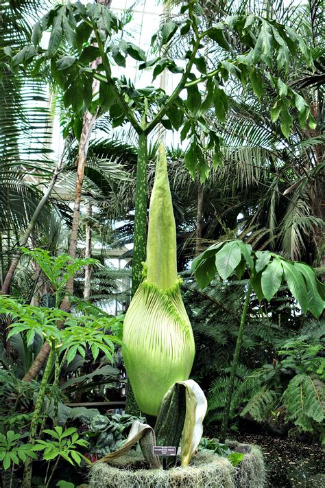 corpse flower    bloom   bronx unleashing