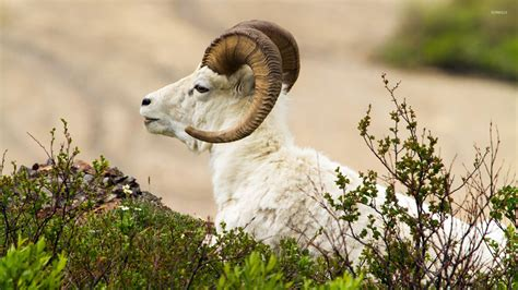 Free Animal Wallpaper - ram wallpaper animal wallpapers 20891