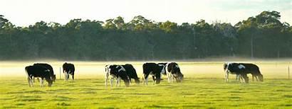 Dairy Australian Cattle Farm Grazing Herd Pacific