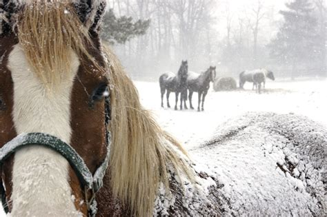 snow horse horses winter cold weather hypothermia snowflake snowy healthy arabian turning season keeping extreme pretty most lake discuss making