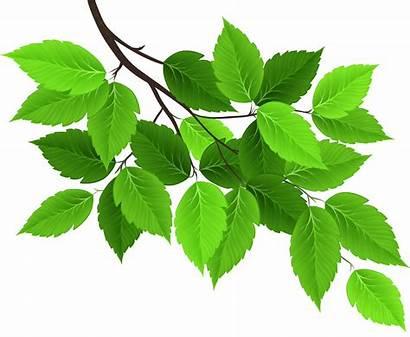 Branch Leaves Clip Clipart Spring Transparent Folhas