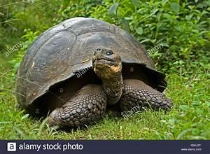Galapagos Giant Tortoise Geochelone Elephantopus Nigra