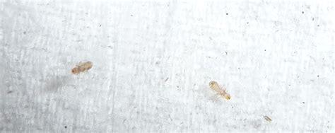 flöhe in der wohnung bekämpfen holzmilben im haus 5 tipps gegen milben im haus gvb hausinfo hausbock gvb hausinfo holzameise