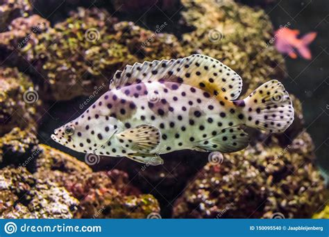 pacific exotic ocean grouper indo fish panther tropical spotter closeup pet