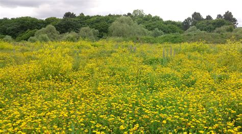 รูปภาพ : ดอกไม้สีเหลือง, ทุ่งดอกไม้, ปลูก, พืชพันธุ์, ทุ่ง ...