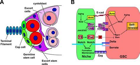 Germline Stem Cell Niches