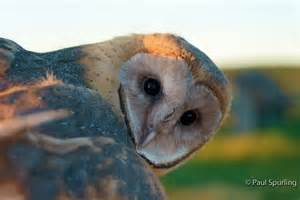 Barn Owl  Tyto Alba  In Explore Raptors  Facts  Habitat