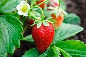Erdbeeren Wann Pflanzen : erdbeeren umpflanzen so wird 39 s gemacht ~ Watch28wear.com Haus und Dekorationen