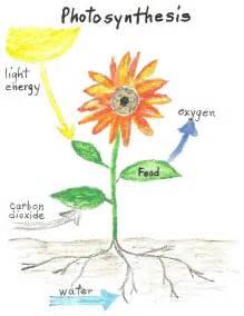 Plant Photosynthesis Diagram