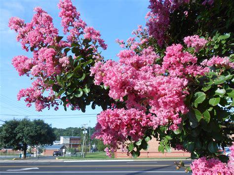 pink flowering trees pantser process stage 3 what do i do linda maye adams