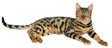 bengal cat for bengal katzenrasse