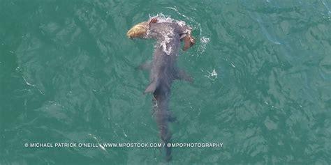 shark hammerhead grouper goliath attacks