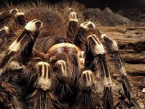 Wie Macht Man Spinnen Tot Foto Bild 1 Vogelspinne
