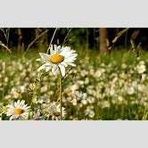 daisies-wallpaper-black-and-white