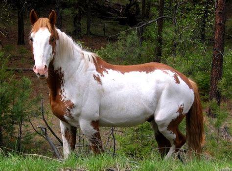 ungulates horse wild bc exotic feral