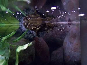 African three striped glass catfish