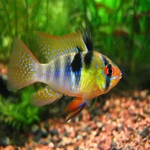 Tropical fish for sale in Melbourne Victoria -Amazing Amazon