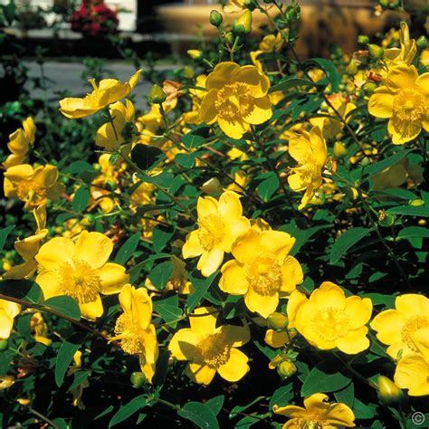yellow flowering bushes hypericum hidcote 1 shrub buy online order yours now