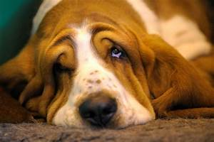 Very sad basset hound wallpapers and images - wallpapers ...