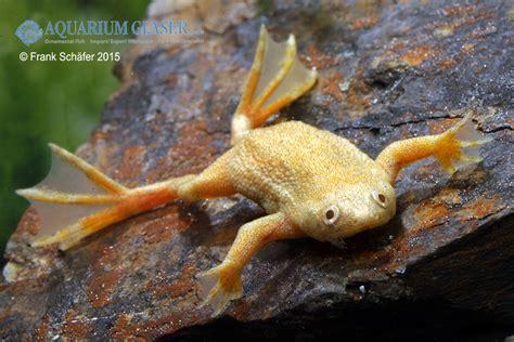 hymenochirus boettgeri gold my fish