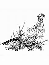 Pheasant Coloring Pages Pheasants Drawings Drawing Birds Template Printable Sketch 4kb 1000px Getdrawings Colors Recommended sketch template