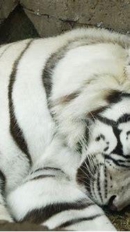 White Tiger Sleeping Stock Images - Image: 5248774