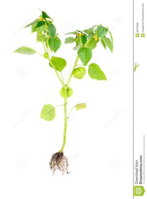 physalis with flower bud lantern and root isolated on white background stock 28475500