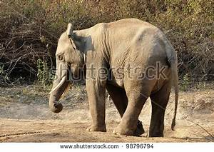 Elephants Are The Largest Living Land Animals On Earth ...