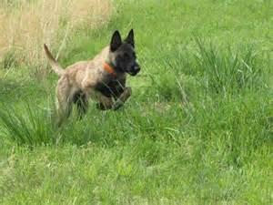 german shepherd cross belgian malinois dog breeds picture