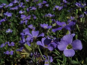 Rock Cress Ground Cover: Information On Growing And Care ...