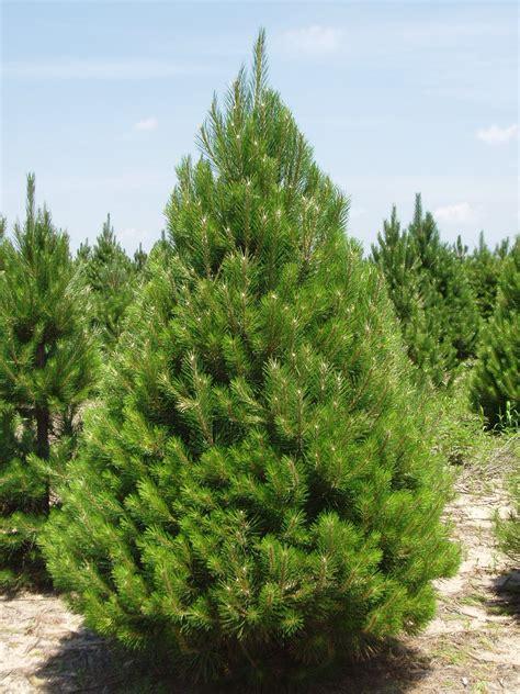 listoftreesinmichigan michigan grown evergreen trees