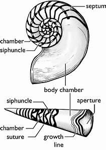 Wisconsin Geological  U0026 Natural History Survey  U00bb Cephalopod