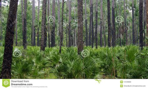 regrowth  forest fire stock photo image  pine