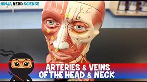 Wiring Diagram Database  Arteries Of The Head And Neck Diagram