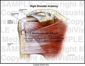 Medivisuals Right Shoulder Anatomy Medical Illustration